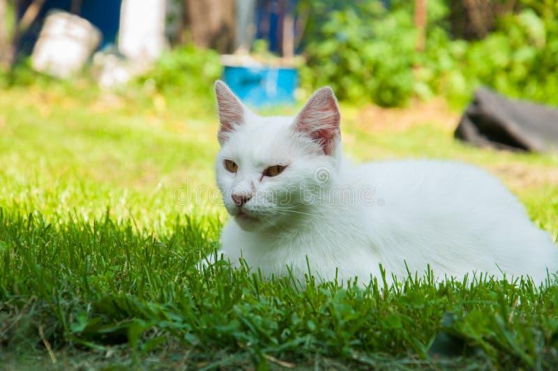 说谎在太阳的绿草的一只美丽的白色猫 免版税库存照片