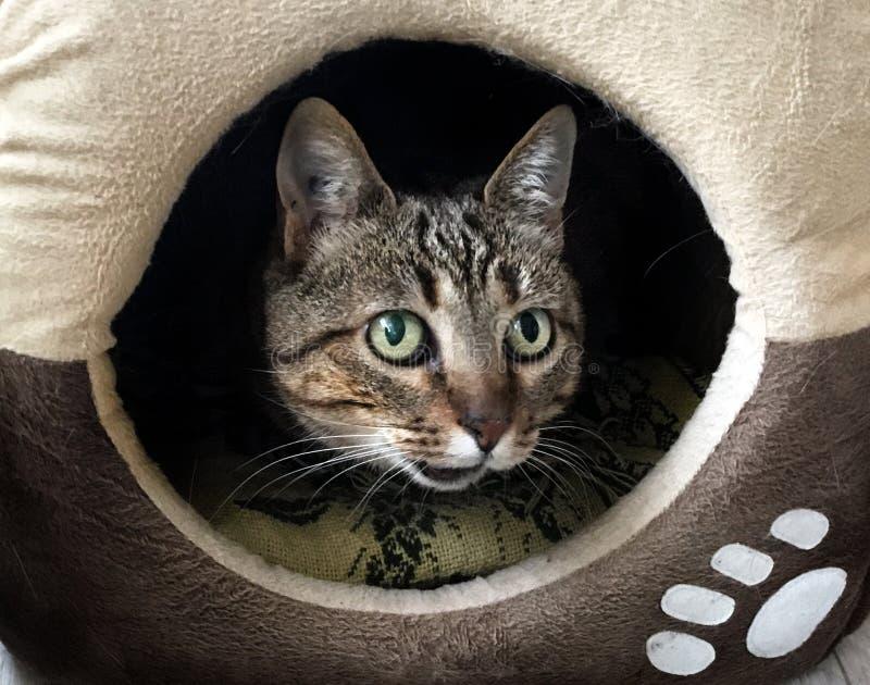 说谎在她的适当位置里面的虎斑猫画象 免版税库存照片