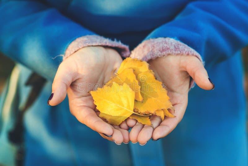 说谎在妇女棕榈的秋叶  美丽的落叶特写镜头在女性手上 翠菊许多秋天的紫红色心情粉红色 秋天季节,自然,hol 库存图片