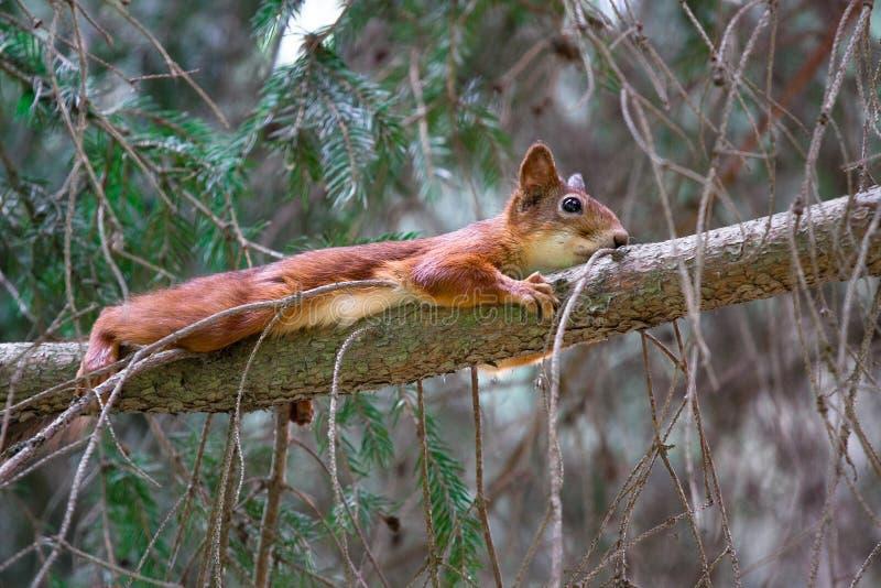 说谎在容忍的树的滑稽的红松鼠与分支 免版税库存图片