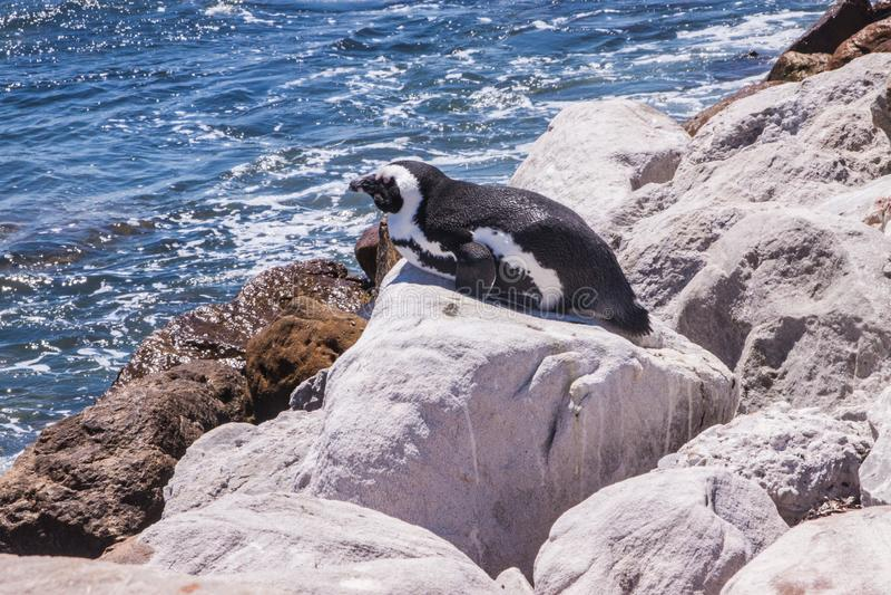 说谎在巨石城的海滩的太阳下的企鹅在西蒙斯镇附近 库存图片