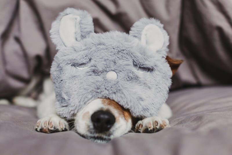 说谎在床上和戴着兔子睡觉面具的逗人喜爱的小狗 在家户内宠物 图库摄影