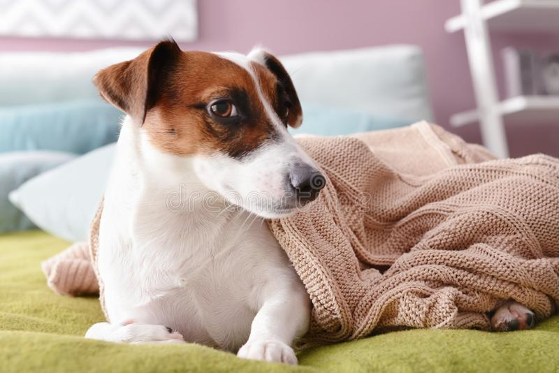 说谎在床上的软的格子花呢披肩下的逗人喜爱的滑稽的狗 免版税库存图片