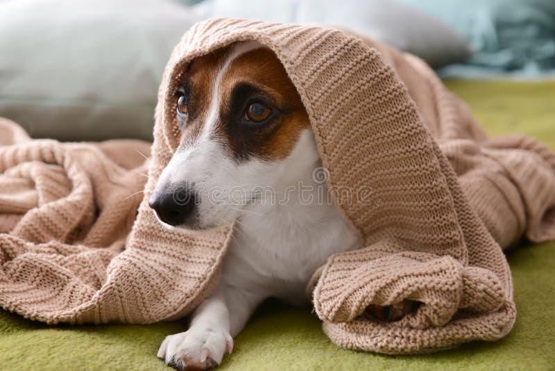 说谎在床上的软的格子花呢披肩下的逗人喜爱的滑稽的狗 免版税库存照片