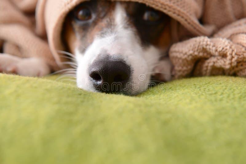 说谎在床,特写镜头上的软的格子花呢披肩下的逗人喜爱的滑稽的狗 图库摄影