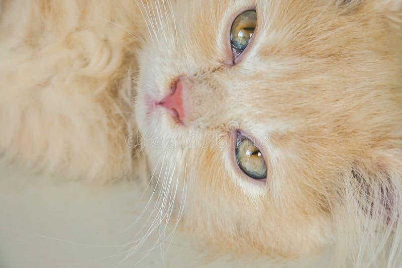 说谎在房子地板上的逗人喜爱的淡色波斯猫的困面孔 免版税库存照片