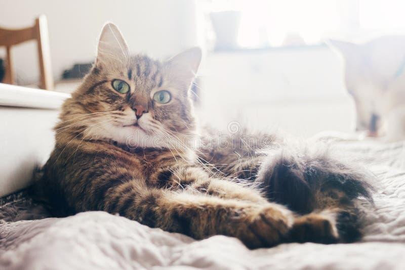 说谎在早晨光的舒适的床上的逗人喜爱的猫在时髦的ro 免版税库存照片