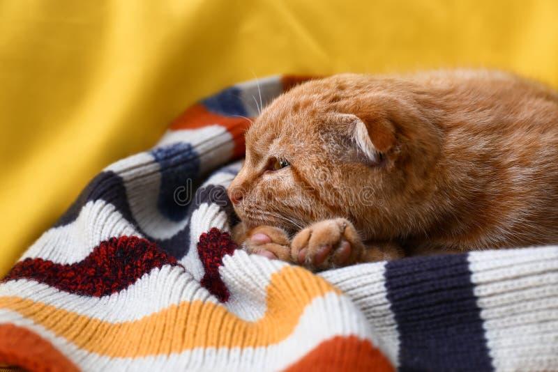 说谎在格子花呢披肩的逗人喜爱的苏格兰折叠猫 库存图片