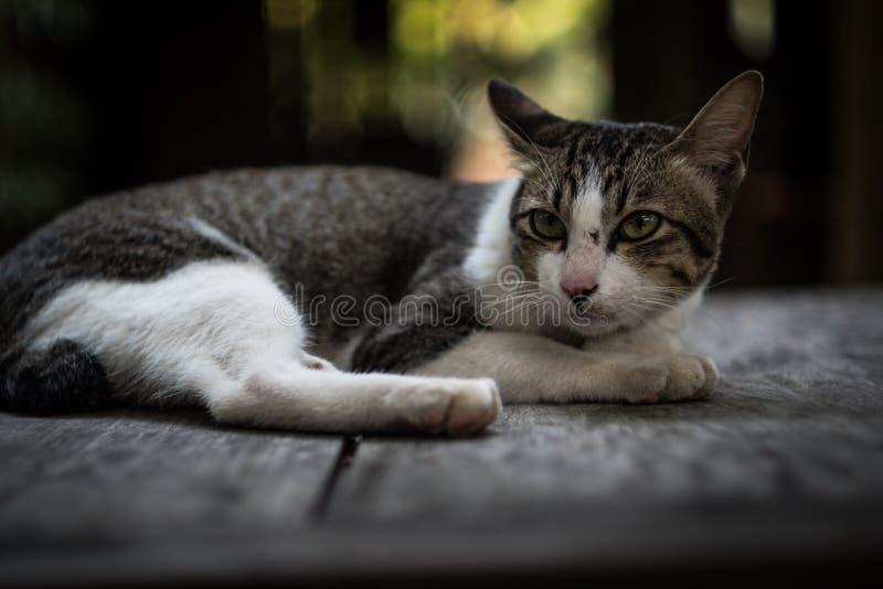 说谎在桌上的猫 库存图片