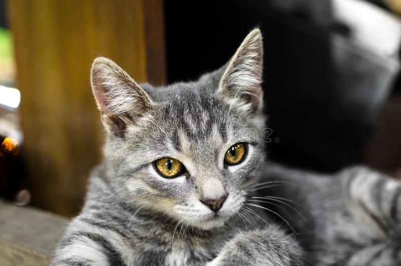 说谎在桌下的一只轻松的灰色小猫的画象 免版税库存照片