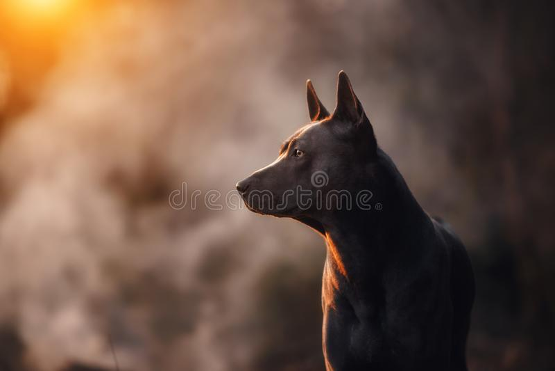 说谎在水泥地板上的泰国Ridgeback黑色小狗哈巴狗狗 免版税库存照片