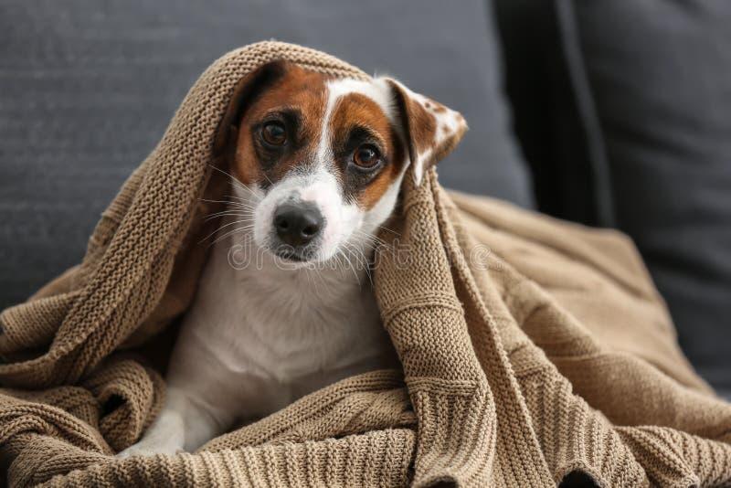 说谎在沙发的温暖的格子花呢披肩下的逗人喜爱的滑稽的狗 库存照片