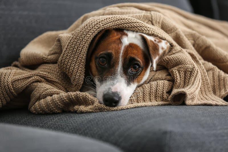 说谎在沙发的温暖的格子花呢披肩下的逗人喜爱的滑稽的狗 免版税图库摄影