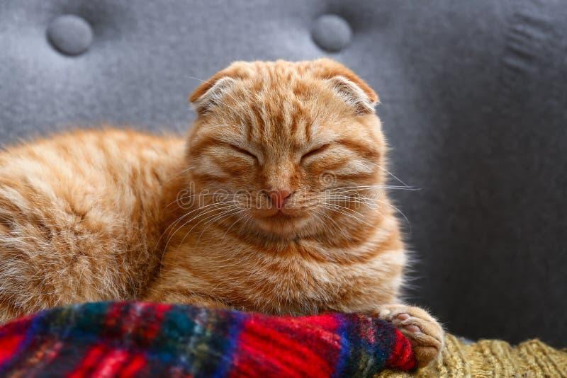 说谎在沙发的逗人喜爱的困苏格兰折叠猫 免版税图库摄影