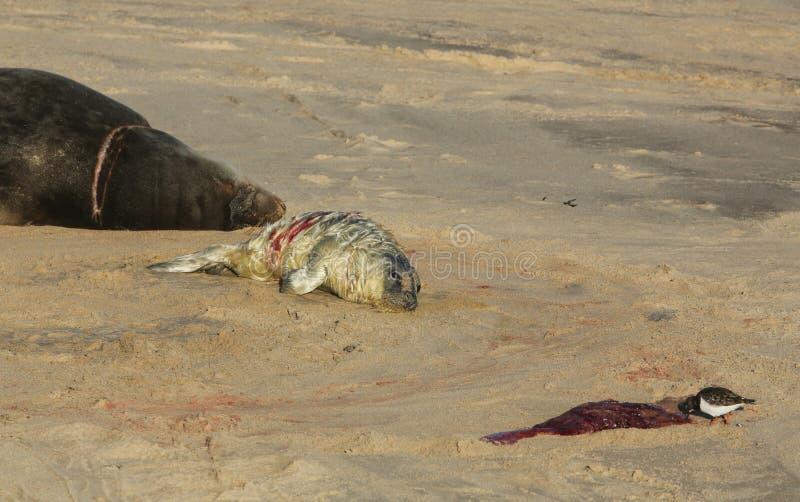 说谎在海滩的一新出生的灰色小海豹Halichoerus grypus在它休息的母亲附近,翻石鹬鸟吃afterbi 库存照片