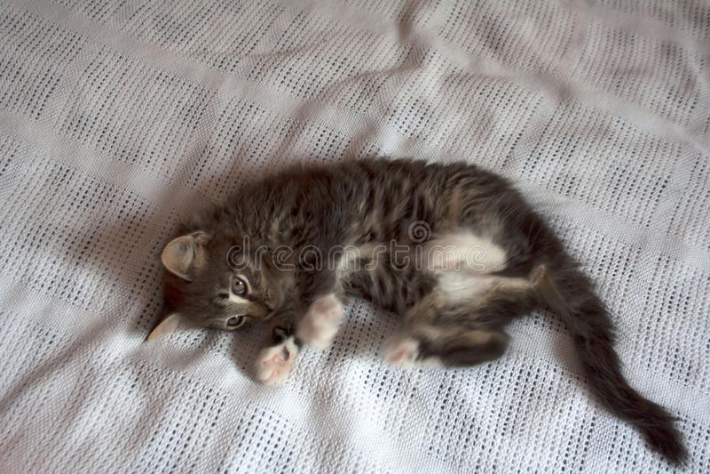说谎在白色毯子的俏丽的小猫 库存照片
