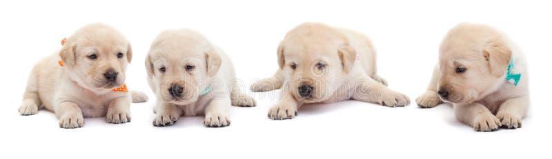 说谎在白色背景的幼小拉布拉多小狗 库存图片