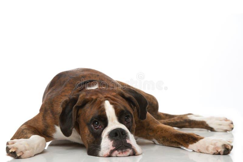 说谎在白色背景的懒惰拳击手狗 图库摄影
