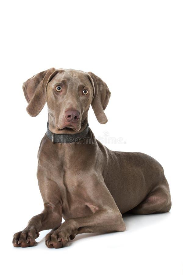 说谎在白色背景的成人weimaraner狗 免版税库存图片