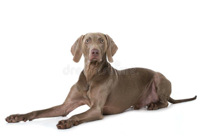 说谎在白色背景的成人weimaraner狗 免版税库存照片