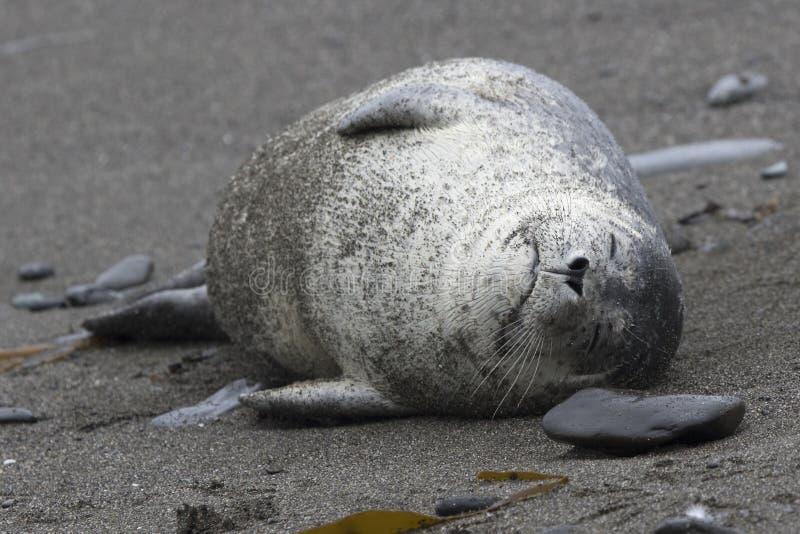 说谎在睡觉的一个沙滩的斑海豹 免版税库存图片