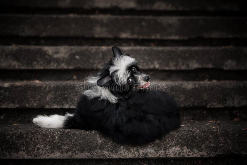 说谎在石台阶的愉快的中国有顶饰狗 免版税库存照片