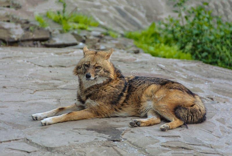 说谎在石头的土狼 库存照片