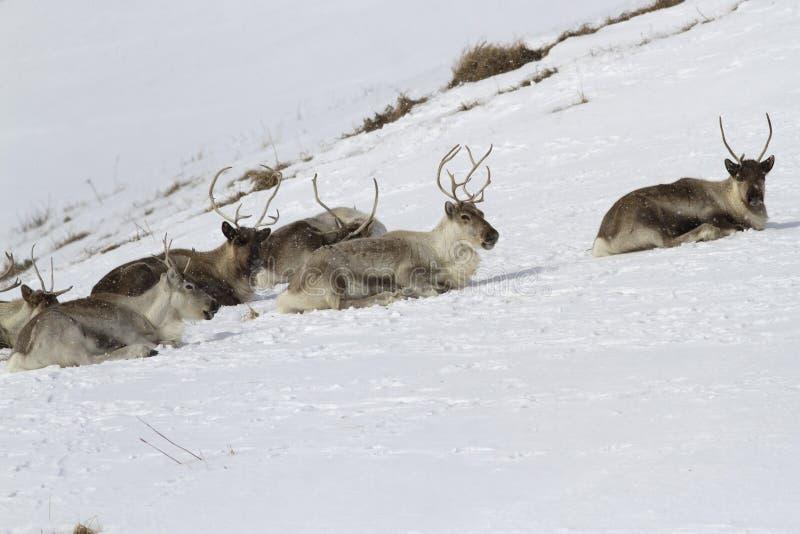 说谎在积雪的小山的倾斜的驯鹿在寒带草原 库存图片