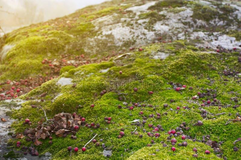 说谎在绿色青苔的一点crabapple在好日子,晚秋天,背景 免版税图库摄影