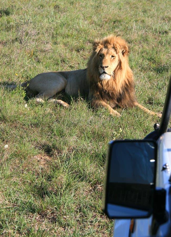 说谎在绿草的公狮子在有日落边照明设备的南非与照片徒步旅行队车旁边镜子  免版税库存图片