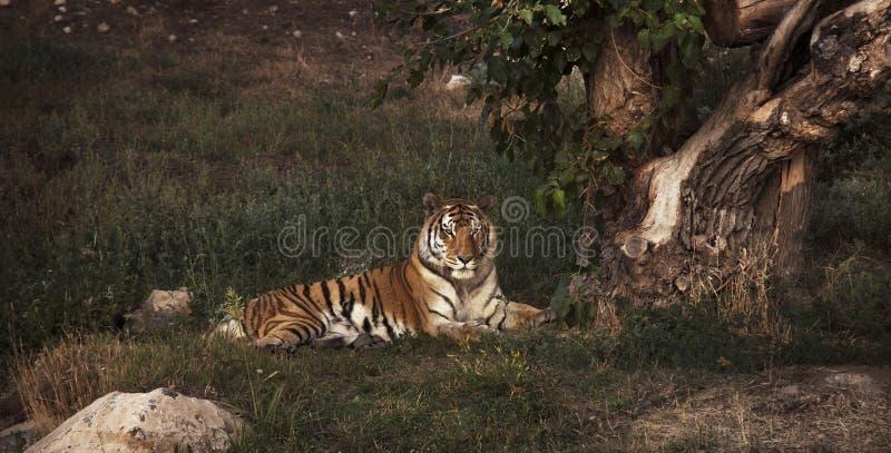 说谎在老树附近的老虎,休息 免版税库存照片