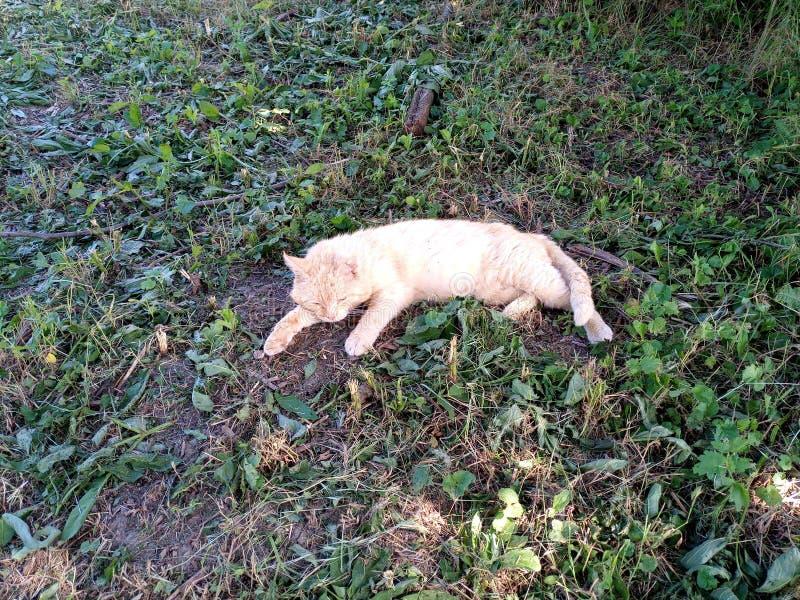 说谎在草的疲乏的红色猫 免版税库存照片