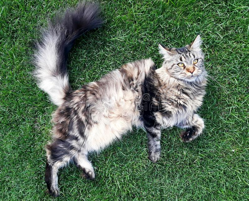 说谎在草的缅因猫 免版税库存照片