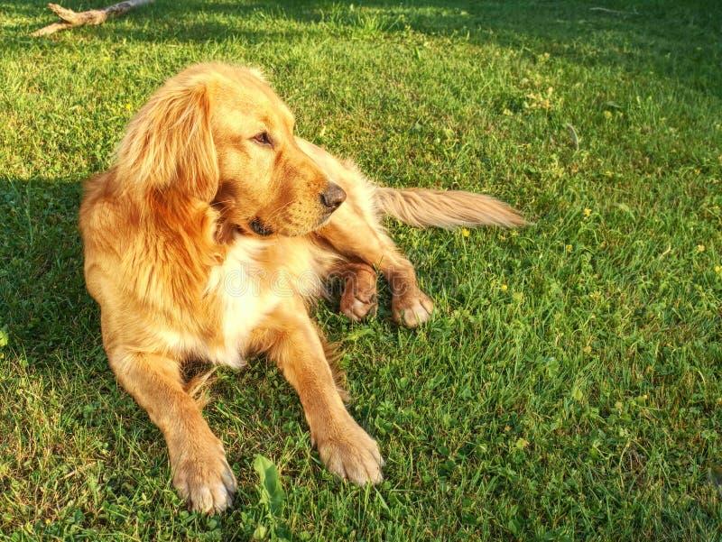 外国女人与狗做爱_说谎在草的镇静金毛猎犬狗在晴朗的夏日 聪明狗享用在使用放松与人的