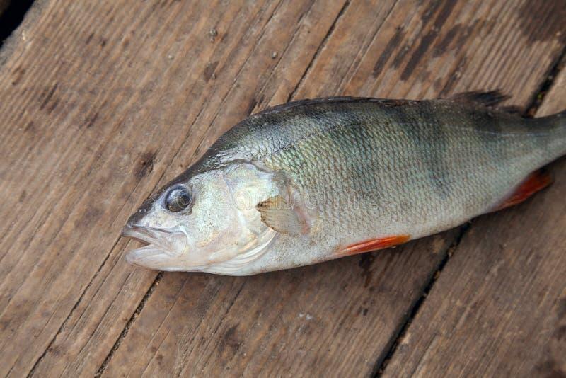说谎在葡萄酒木背景的淡水栖息处 钓鱼概念,战利品抓住-从采取的大淡水栖息处鱼 免版税库存图片