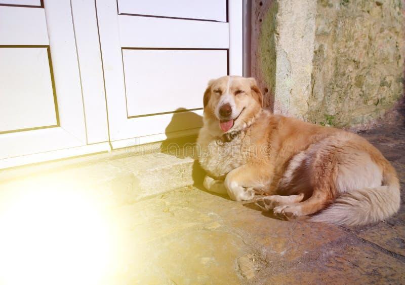 说谎在街道和微笑上的美丽的大狗 愉快等待大师 库存照片