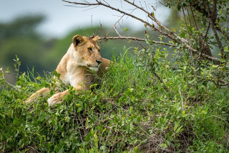 说谎在象草的土墩的雌狮看起来正确 免版税库存照片