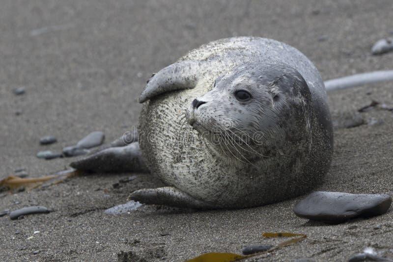 说谎在转动他的头和神色的一个沙滩的斑海豹 图库摄影