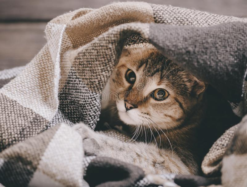 说谎在软的格子花呢披肩下的家养的虎斑猫 图库摄影