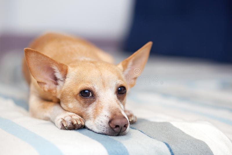 说谎在长沙发的奇瓦瓦狗 宠物休息 在沙发的红色狗 室内射击的一张水平的照片从轻的内部的与sm 图库摄影