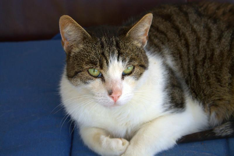 说谎在黑暗的背景的平纹灰色猫 库存照片