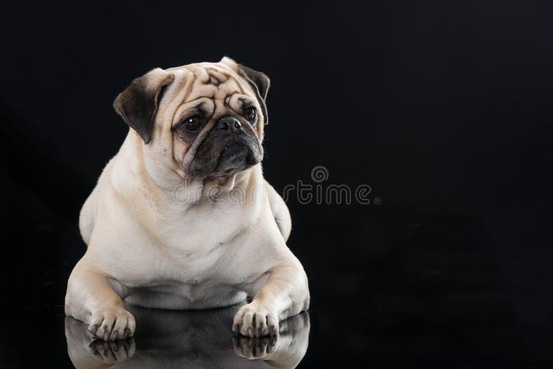 说谎在黑背景的成人哈巴狗 免版税库存照片