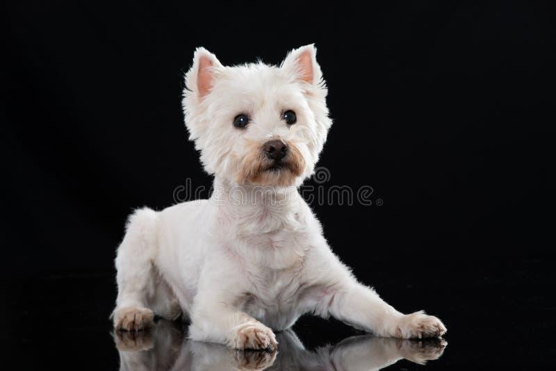 说谎在黑背景的成人西部高地白色狗狗 免版税库存图片