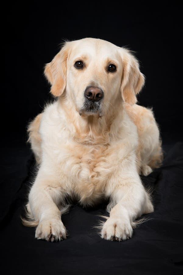 说谎在黑背景的成人金毛猎犬狗 免版税库存图片