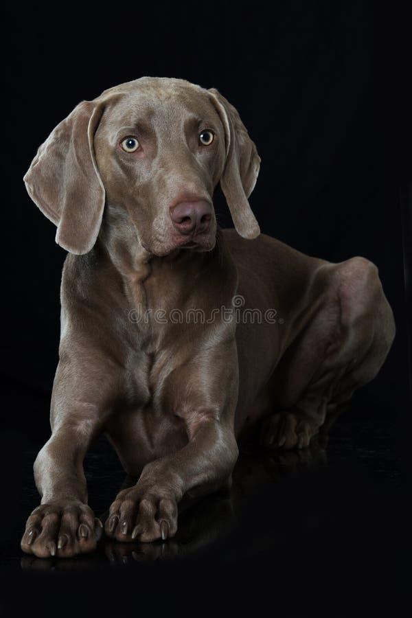 说谎在黑背景的成人weimaraner狗 图库摄影