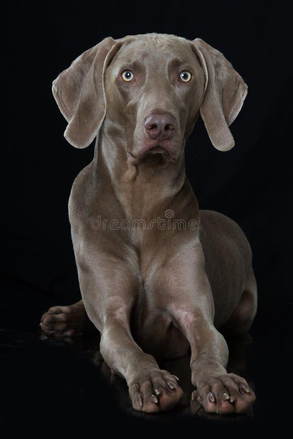 说谎在黑背景的成人weimaraner狗 库存图片
