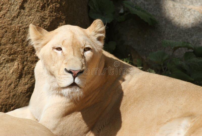说谎的南非雌狮画象  免版税图库摄影