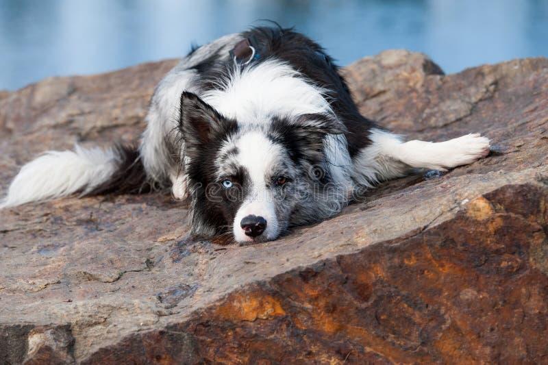 说谎的博德牧羊犬狗本质上 图库摄影