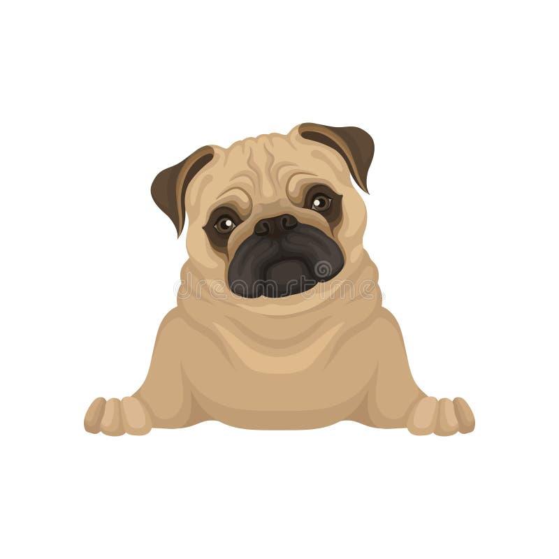 说谎的哈巴狗小狗,正面图画象  与米黄外套、可爱的起皱纹的枪口和发光的眼睛的小狗 平的传染媒介 皇族释放例证