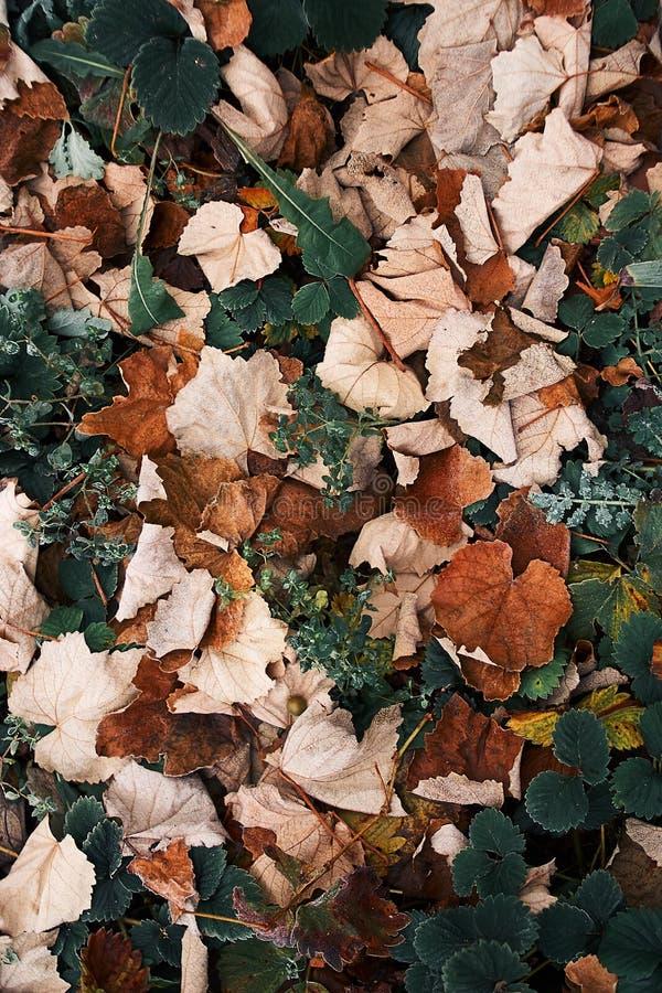 说谎秋天的结霜的叶子放牧布朗 免版税库存图片